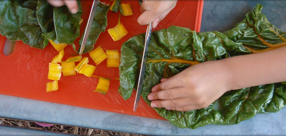 Cutting Swiss chard
